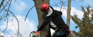 Summer Tree Care Pruning