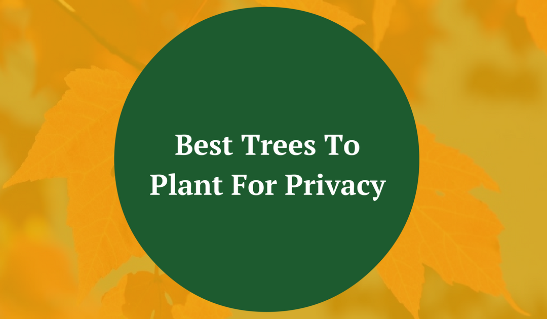 Best Trees To Plant For Privacy