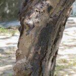 Deadwood tree