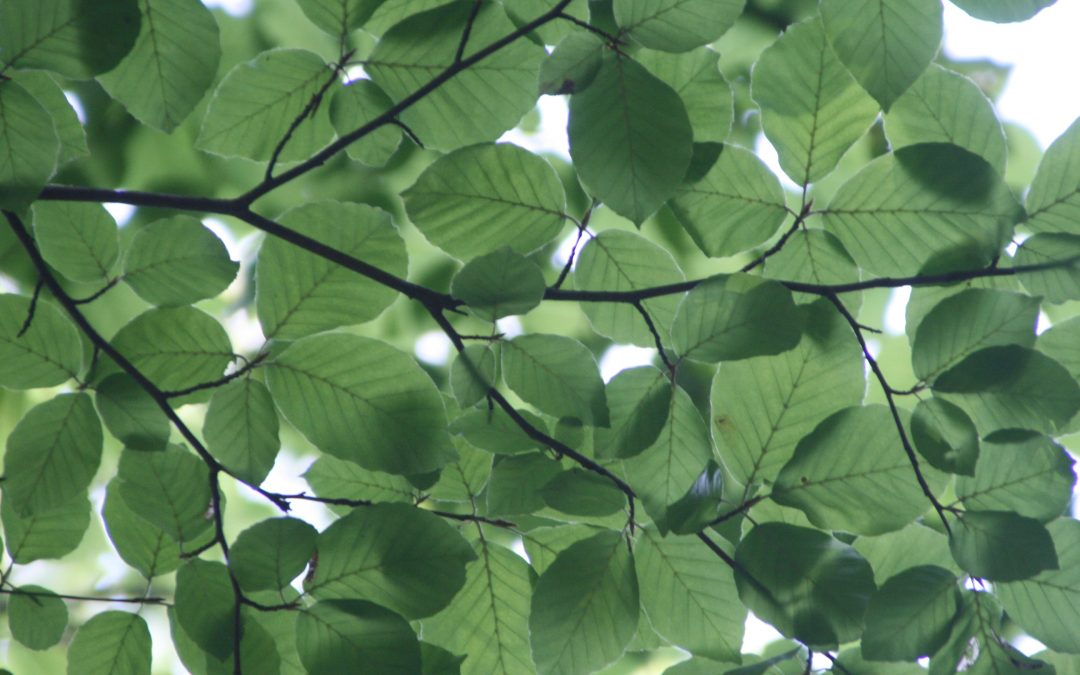 Save Energy with Fast-Growing Shade Trees in Northern VA