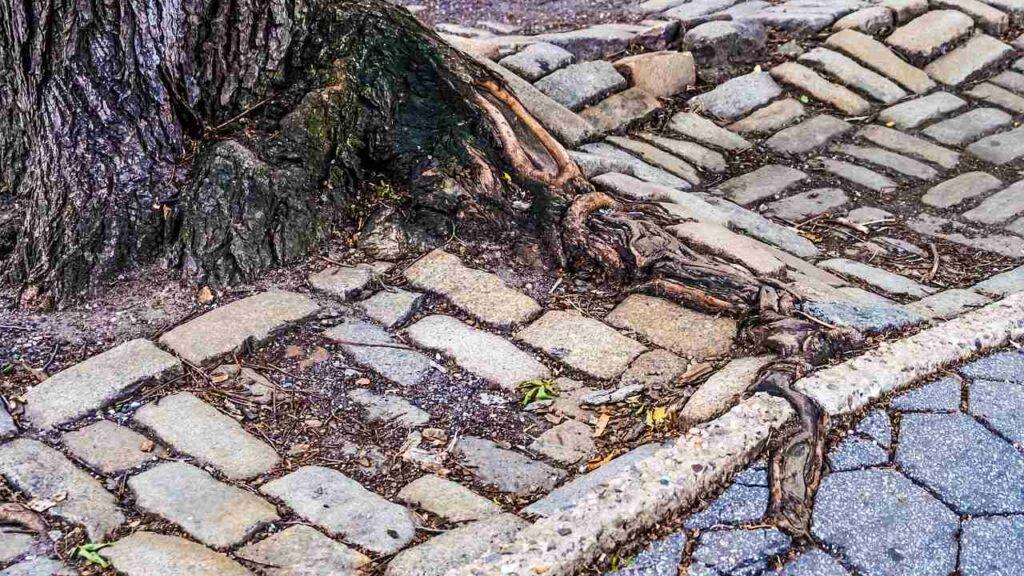 overgrown tree roots crack sidewalk