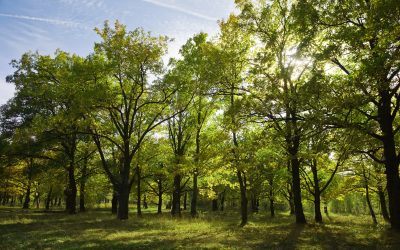 Signs Your Oak Tree is Dying