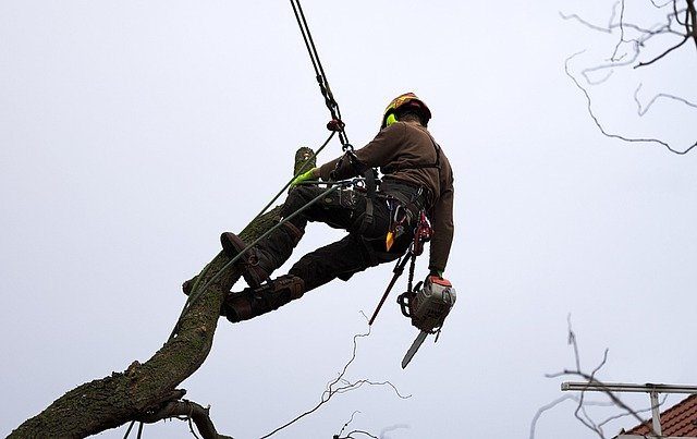 Worker For A Licensed Tree Service Performing A Tree Removal